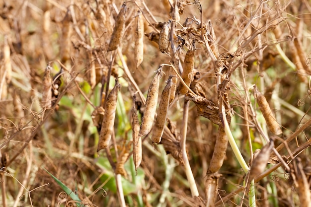 An agricultural field with a ripe crop of yellow peas, pea plants have turned yellow and dried up and are ready for harvesting
