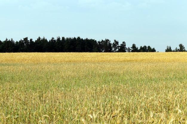 青い空を背景に穀物が植えられた農地、地平線に森が生える