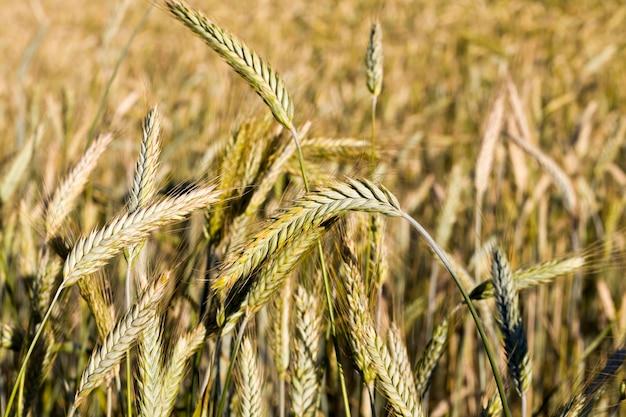 東ヨーロッパの穀物を収穫するために熟した新鮮な熟した乾燥穀物のある農地