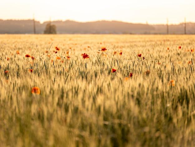 Поле сельскохозяйственных культур с красными маками во время заката