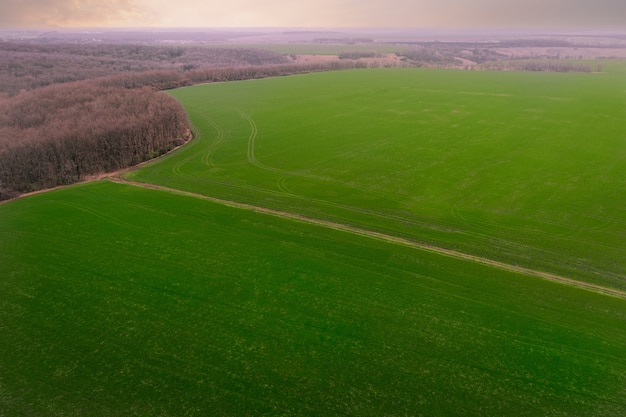 Сельскохозяйственные зеленые полевые проростки зерновых культур ранней весной выращивают пшеницу и ячмень