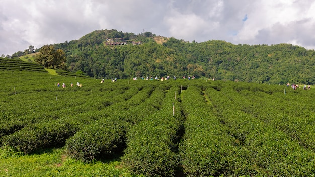 Agricultural green tea farmland area on the mountain