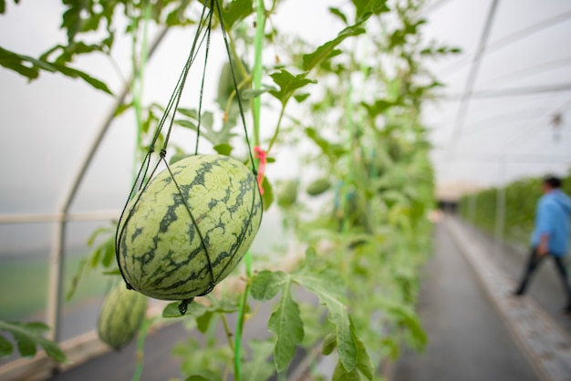 Agricultural industry of watermelon cultivation in greenhouses
