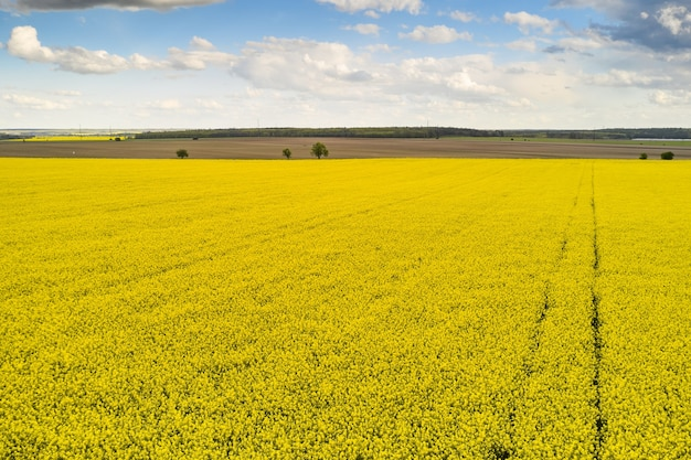 Agricultural landscape of a rapeseed field with line and blue sky