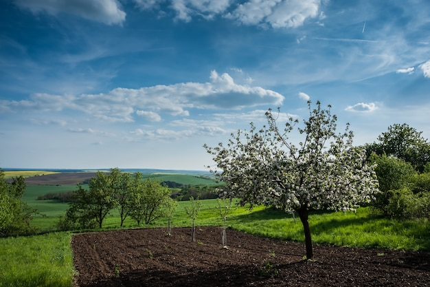 Agricultural landscape with blooming apple trees and beautiful sky
