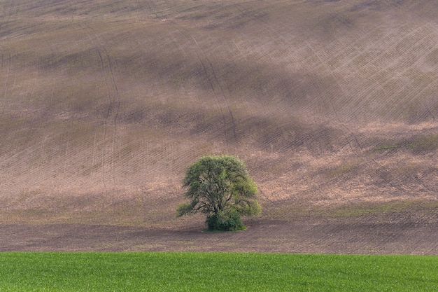 Agricultural landscape with lonely tree on field