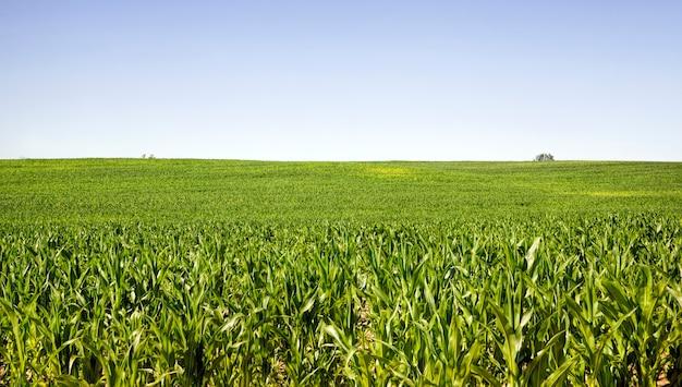 夏の緑のトウモロコシの列のある農業景観晴れた日、若いトウモロコシ畑、日光に照らされた緑の植物