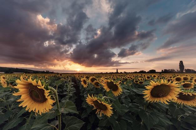 Сельскохозяйственный пейзаж с полем подсолнухов на закате, величественные облака в небе