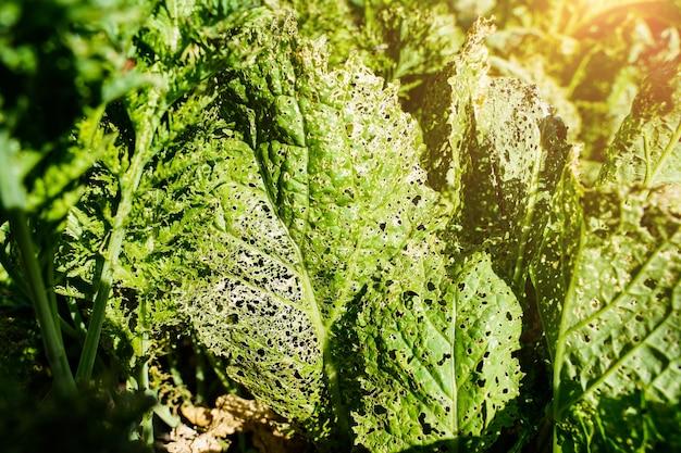 농업 해충은 자연을 배경으로 병든 식물로 구멍이 있는 잎을 손상시켰습니다...