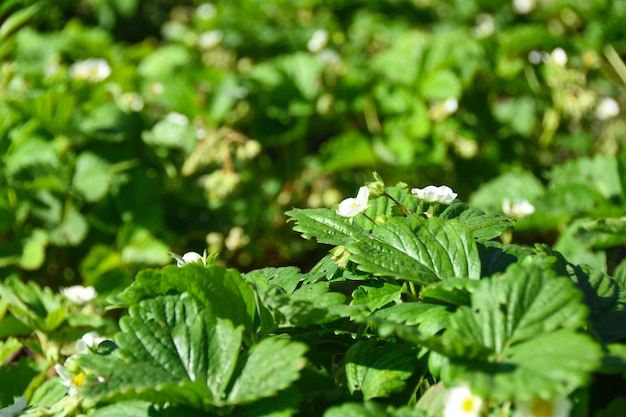 Agricultural plant in the field. young saplings of strawberries with flowers