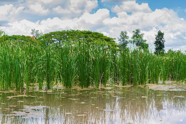 매트를 만들기위한 농업 식물 또는 향 나무