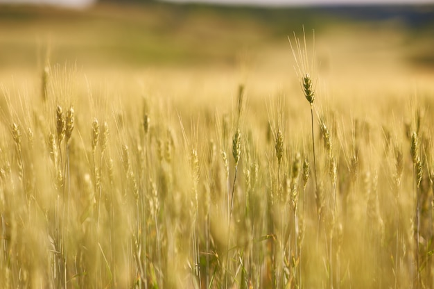 Agricultural wheat field, yellow and ready for harvest. selective focus.
