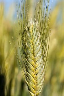 農業、自然食品の収穫を得るための農村地域での活動、有機農業、植物性食品の新しい作物のある畑、一年の夏または春の時期、スパイクレットの水滴