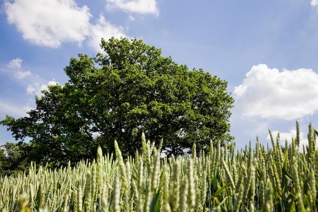 穀物、小麦またはライ麦の穀物を生産するための穀物の栽培のための農業および農業は、食品、グリーンオークの調製に使用されます