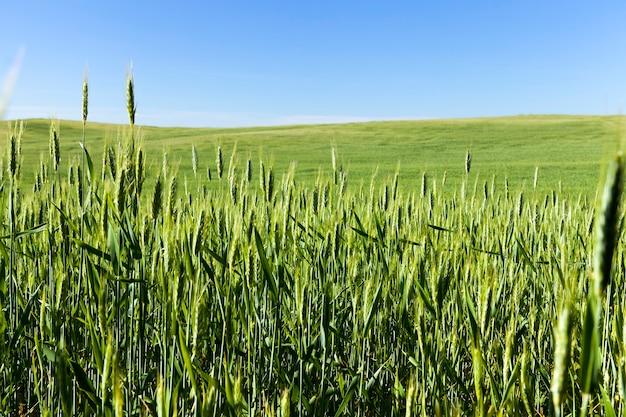 穀物生産のための穀物栽培のための農業と農業