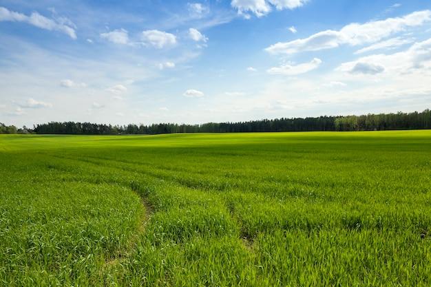 農業。シリアル。春-春に未熟な緑の草が育つ農地