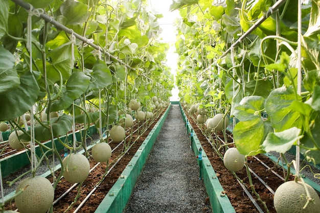 Agriculture concept. melon farm in large greenhouses