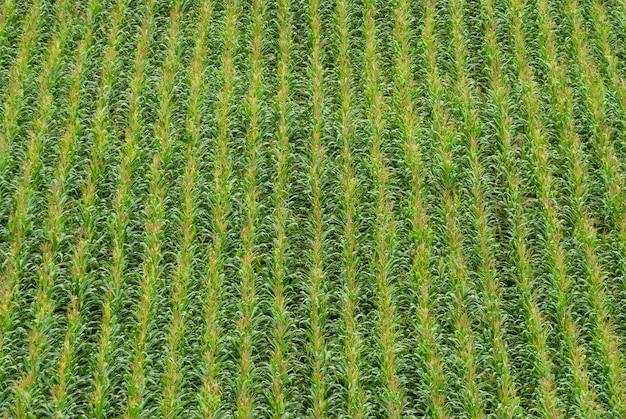 ブラジルの農業用トウモロコシ農園