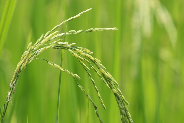 Agriculture ear of rice in the field raw food
