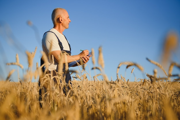 Agriculture, farmer or agronomist inspect quality of wheat in field