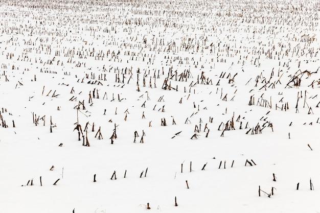 冬の農地-収穫後のトウモロコシ植物の目に見える残骸の下から雪で覆われた冬の農地