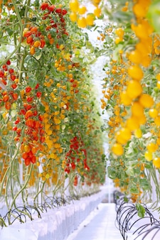 Agriculture of fresh ripe red and yellow tomatoes plantation growth in organic greenhouse garden ready to harvest.