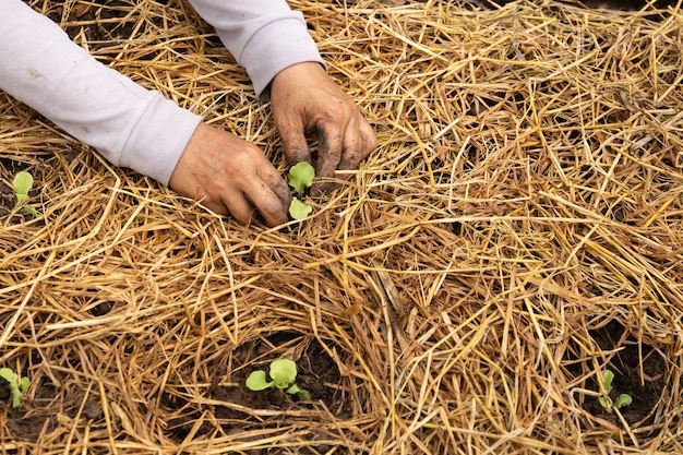有機農場でレタスを栽培する農業。