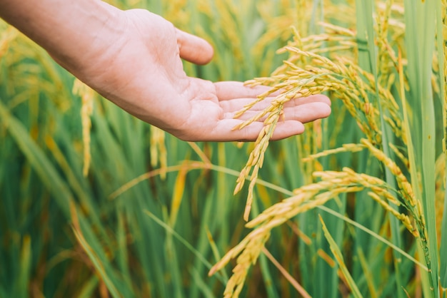 Agriculture, hand tenderly touching a young rice in the paddy field