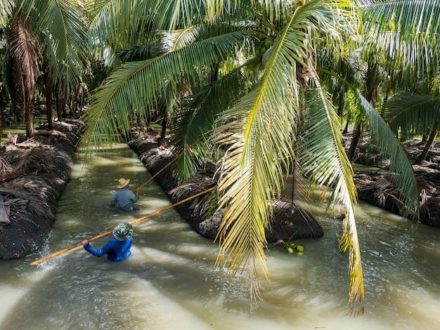 물에 떠 다니는 향수 코코넛을 농업 수확. 향수 코코넛 반패 오더