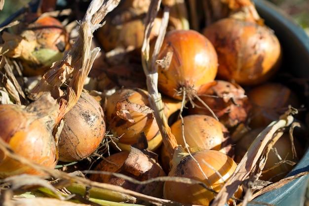 モルドバの農業、タマネギの収穫。