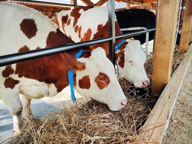 농업 산업, 농업 및 축산 개념 - 낙농장의 외양간에서 건초를 먹는 소 떼. 소는 건초를 먹습니다. 소는 갈색과 흰색입니다. 가축 사육