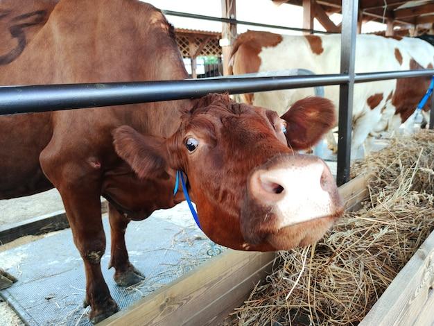 농업 산업, 농업 및 축산 개념 - 낙농장에 있는 소떼. 소는 건초를 먹습니다.