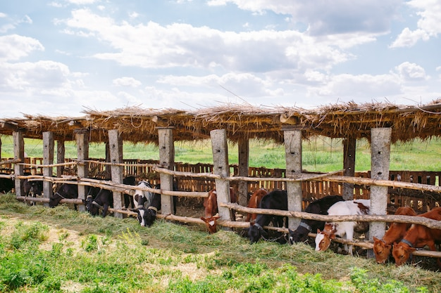 Agriculture industry, farming and animal husbandry concept, herd of cows  in cowshed on dairy farm
