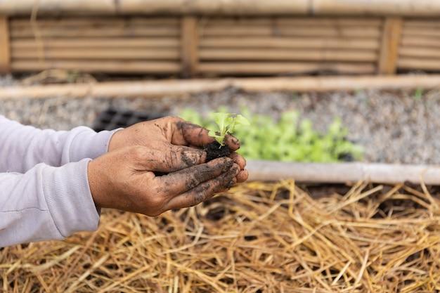 農業は有機農場でレタスを持っている手です。