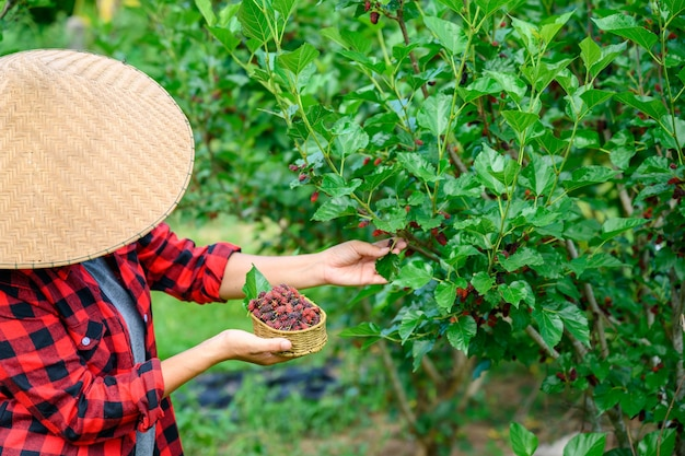 Agriculture is harvesting fresh mulberry in mulberry plantations to extract mulberry juice or jam and is high in vitamins.