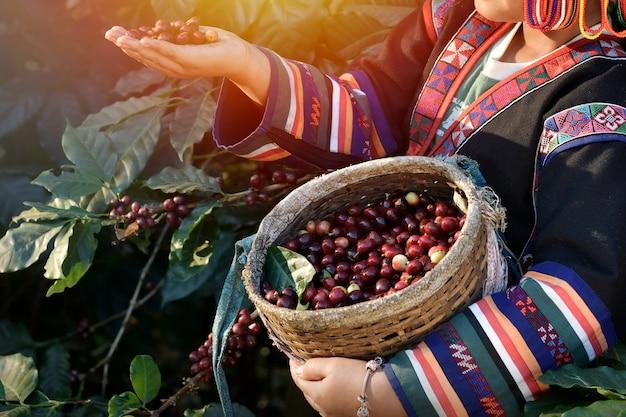Сельское хозяйство собирает урожай кофейных зерен арабики. посажены на возвышенности в чианграе, таиланд, сельскохозяйственные концепции.