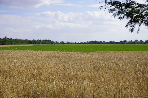 Agriculture landscape field ripe wheat shining sunlight