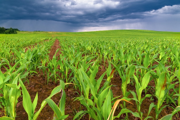 Agriculture landscape, rows of young corn plants growing on a vast field with fertile soil leading to the horizon
