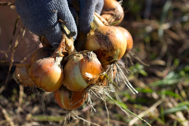 Agriculture in moldova, onion harvesting.