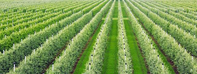 농업. 사과 나무의 행이 자랍니다.