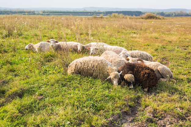 農業、羊は牧草地で放牧し、羊飼いは羊を放牧します