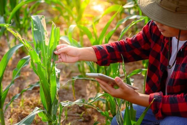 농업 옥수수 밭에서 정제를 사용하여 옥수수 식물과 옥수수 잎의 품질을 확인합니다.