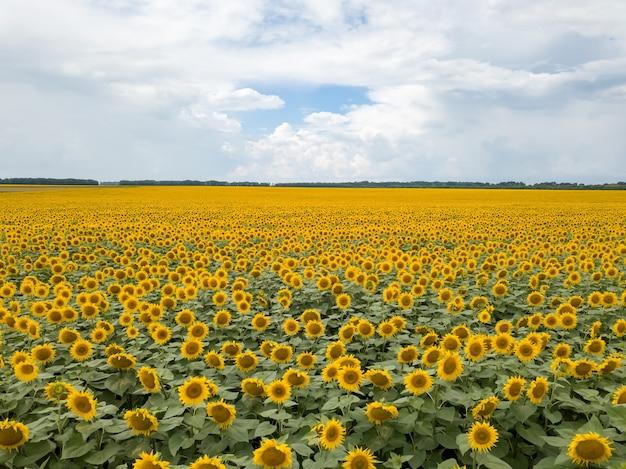 Сельскохозяйственное поле цветущих подсолнухов летом. панорамный вид с дрона. естественный фон цветения с голубым небом.