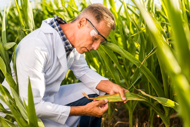 Agronomist careful inspecting a maize leaf