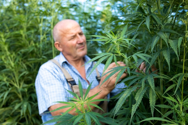 Agronomist checking quality of cannabis or hemp leaves in the field