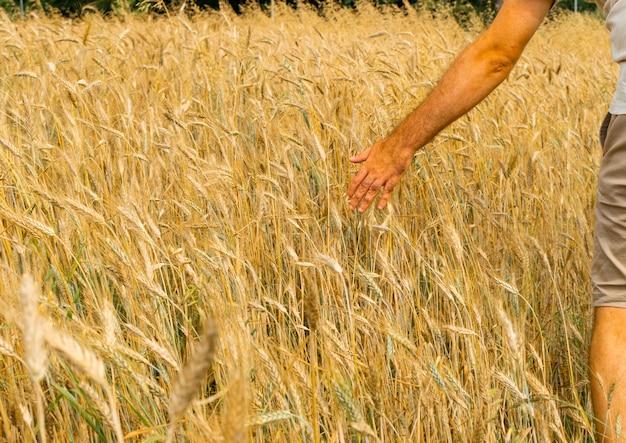 Фермер-агроном трогает рукой золотые уши