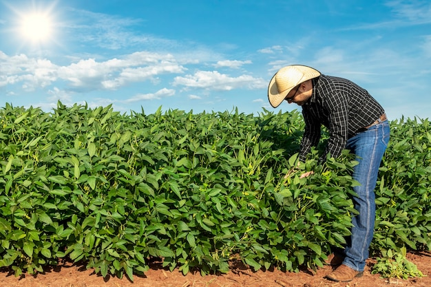 Agronomist inspecting soya bean crops growing in the farm field. agriculture production concept