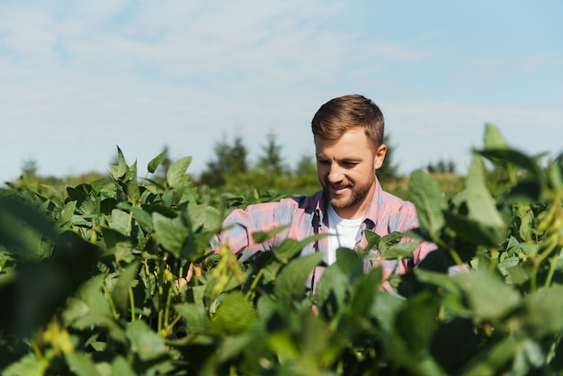 Агроном или фермер, осматривающий урожай соевых бобов