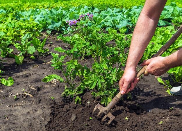 Агроном разгребает землю вокруг капусты