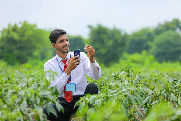 Agronomist taking photo in smart phone at green chilli pepper field